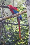红色ara金刚鹦鹉鹦鹉 动物园 免版税库存照片