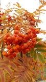 红色ashberry在树秋天的叶子 库存照片