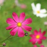 红色Aste花在庭院里有绿色背景 免版税图库摄影