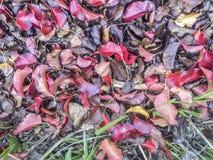 红色autum叶子 库存照片