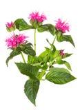 绯红色Beebalm的醒目的桃红色花 免版税库存照片