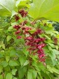 红色Berried,叶茂盛室外植物 库存图片