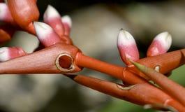 红色Bromeliad花 免版税库存照片
