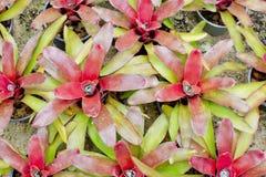 红色Bromeliads 免版税图库摄影