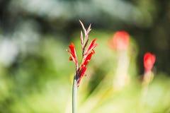 红色Canna花蕾有干净的背景 免版税图库摄影