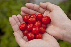 红色Cerry蕃茄 免版税库存图片