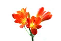 红色clivia miniata 免版税库存照片