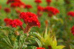 红色cockscomb在庭院,曼谷里开花 库存图片