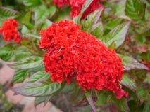 红色Cockscomb 免版税图库摄影