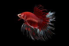 红色Crowntail betta 免版税库存照片