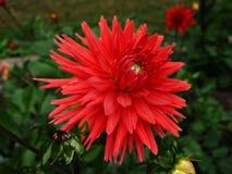 红色dhalia 图库摄影
