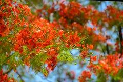 红色flam boyant花在夏天 五颜六色的红色皇家poinciana b 库存照片