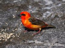 红色Fody鸟 库存图片