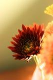 红色gerbea花绿色黄色背景自然fress点燃 库存图片