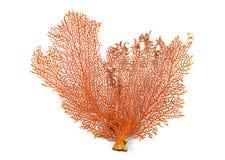 红色Gorgonian或红海在白色背景隔绝的爱好者珊瑚 库存图片