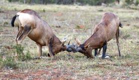 红色Hartebeest男性羚羊战斗 库存图片