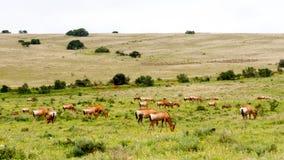 红色Hartebeests巨大的部落  免版税库存图片