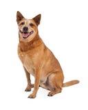 红色Heeler狗坐的边 库存图片