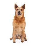 红色Heeler狗坐的今后看 免版税库存图片