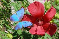 红色hibiskus和蓝色蝴蝶 免版税库存图片