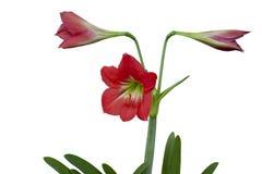 红色hippeastrum或孤挺花花在白色背景开花隔绝 图库摄影