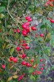 红色hiprose莓果 库存照片