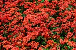 红色Ixora在泰国庭院里 免版税库存照片