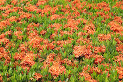 红色Ixora或西部印地安人茉莉花 免版税库存照片