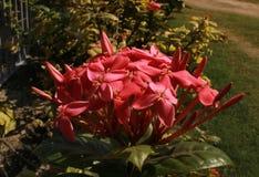 红色ixora花和芽在庭院里 免版税库存照片