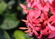 红色ixora花和芽照片的关闭  库存图片