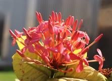 红色ixora花和芽 免版税库存图片