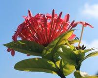 红色ixora花和芽 图库摄影