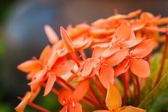 红色Ixora花在庭院里 免版税图库摄影