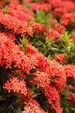 红色Ixora花在泰国的庭院里。 库存图片