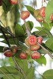 红色jamrul这是非常甜的 库存照片