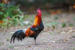 红色junglefowl (背带背带) 免版税库存照片