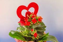 红色Kalanchoe开花与红色心脏形状,蓝色degradee背景,关闭 库存照片