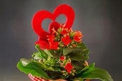 红色Kalanchoe开花与红色心脏形状,黑暗的背景,关闭 库存照片
