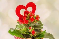 红色Kalanchoe开花与红色心脏形状,轻的心脏背景,关闭 库存图片