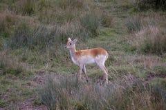 红色lechwe羚羊(水羚属leche) 库存照片