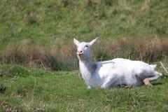 红色lechwe羚羊 图库摄影