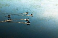红色lechwe跑横跨被充斥的草原的(空中),水羚属leche leche, Okavango三角洲,博茨瓦纳 图库摄影