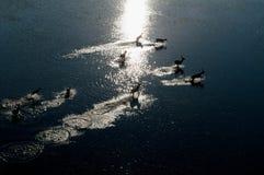 红色lechwe跑横跨被充斥的草原的(空中),水羚属leche leche, Okavango三角洲,博茨瓦纳 免版税图库摄影