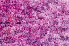 红色Macarenia clavigera 图库摄影