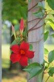 红色mandevilla花卉生长在藤 库存照片