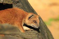 红色meerkat 库存图片