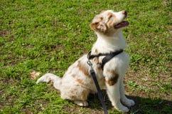 红色merle澳大利亚牧羊人小狗  免版税图库摄影