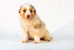 红色Merle澳大利亚牧羊人小狗 库存照片