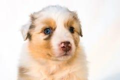 红色Merle澳大利亚牧羊人小狗 免版税库存照片