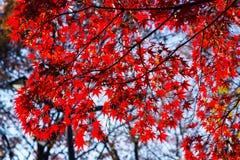 红色momiji叶子 免版税图库摄影